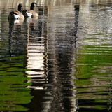 Ducks couple and water reflections. Ducks couple swimming in pond and water reflections Stock Photo