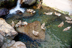 Ducks in a creek Stock Photos