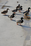 Ducks crossing the road Royalty Free Stock Images