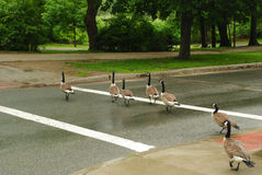 Ducks crossing the street. Family of ducks crossing the street in a rainy day at Boston Stock Images