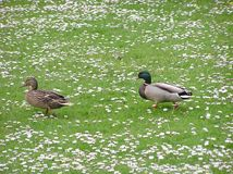 Ducks In Daisies royalty free stock photography
