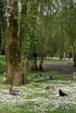 Ducks among daisies in fota wildlife park. Near cobh county cork ireland Royalty Free Stock Image