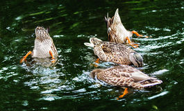 Ducks in a dark water Royalty Free Stock Images