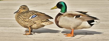 Ducks. Detail of duck and male duck staying in sunshine on the wooden landing stage. Duck is brown-coloured, male duck is staying behind the duck and has green royalty free stock images