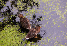 Ducks in the dirty pond with duckweed. Ducks in natural conditions among a pond with duckweed Stock Photo