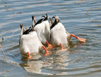 Ducks Dive. Three Ducks diving for food stock photos