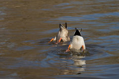 Ducks dive into the  water. A pair of beautiful ducks dive into the clear water Stock Photos