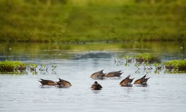 Ducks diving in a lake. Careless ducks diving in a lake Royalty Free Stock Images
