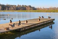 Ducks on the dock royalty free stock photos