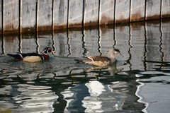 Ducks at the dock Royalty Free Stock Images