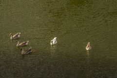 Ducks domestic animal - Anas platyrhynchos domesticus. Birds of eastern Antioquia Stock Photography