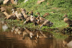 Ducks. Domestically bred, foraging near a pond on a sunny day. Some dozing off, some digging their heads into the mud, some keeping watch Royalty Free Stock Photo