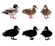 Ducks and drake. Three Mallards or Wild Ducks (Anas platyrhynchos) isolated on the white background and clipping masks Royalty Free Stock Images