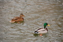 Ducks and drakes Stock Photo