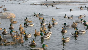 Ducks and drakes. The big pack of ducks on the river floats near the coast stock video