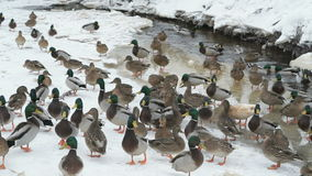 Ducks and drakes swim in the creek a cold winter stock video footage