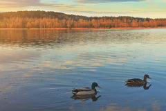 Ducks and drakes swim on the lake in the evening in nature. Stock Photo