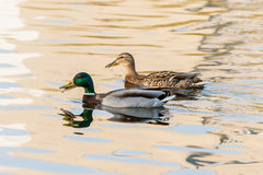 Ducks and drakes swim in the pond Stock Image