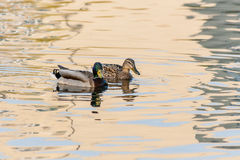 Ducks and drakes swim in the pond Royalty Free Stock Photography