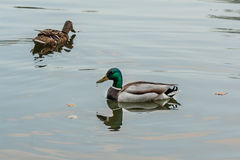 Ducks and drakes swim in the pond Stock Photography