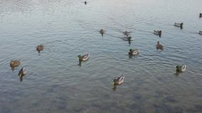 Ducks and drakes swim in a river stock footage