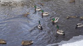 Ducks and drakes swim in the winter pond stock video footage