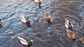 Ducks and drakes swim in the winter pond stock footage