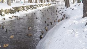 Ducks and drakes swim in the winter pond stock video