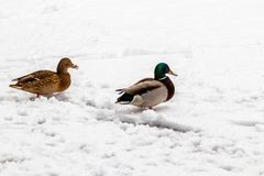 Ducks and drakes walk on snow and on a frozen lake. Close up Royalty Free Stock Image