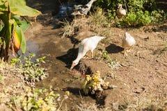 Ducks drinking, Chitwan, Nepal Stock Photo