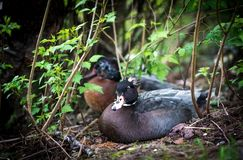 Ducks. Duck couple in the nesting period at park Royalty Free Stock Photos