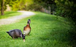 Ducks. Duck couple  is walking on the grass Royalty Free Stock Image