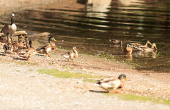 Ducks. Duck family swims in the water of the lake in the summer sunny park Stock Photography