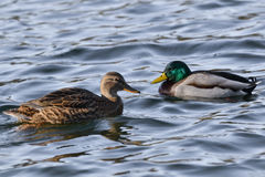Ducks. Duck on the lake  in a sunny day Royalty Free Stock Photography