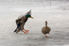 Ducks. Duck Landing on Ice, Other Duck Running Away Stock Image