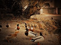 Ducks by a duck pond on a village green. Duck pond on a village green Royalty Free Stock Image