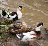 Ducks Stock Images