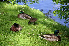 Ducks with duckling. Brugge stock photo