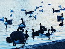 Ducks duckling lake duckpond swimming. Wildlife animal bird nature Royalty Free Stock Photography