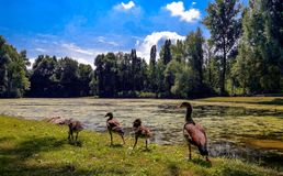 Ducks and ducklings in a row in the nature royalty free stock photos