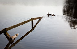 Ducks and ducklings swim past submerged fence Stock Image