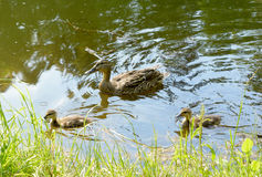 Ducks with ducklings swimming. Ducks in water Royalty Free Stock Photo