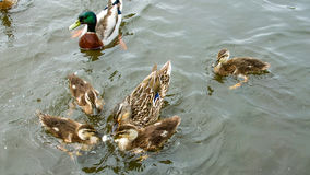 Ducks and ducklings on a village pond. Mallard ducks and ducklings on a village pond Stock Photos