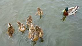 Ducks and ducklings on a village pond. Royalty Free Stock Image