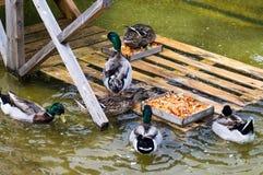 Ducks. At the farm eat Stock Photography