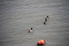 Ducks. Floating on the Danube Royalty Free Stock Images