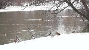 Ducks in early spring. The ducks in early spring stock footage