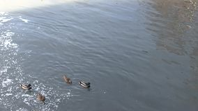 Ducks in early spring. The Ducks in early spring stock video footage