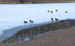 Ducks in early spring near the hole in the ice Stock Photography