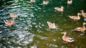 Ducks eat bread while floating in a pond. Hungry ducks in the lake. stock video footage